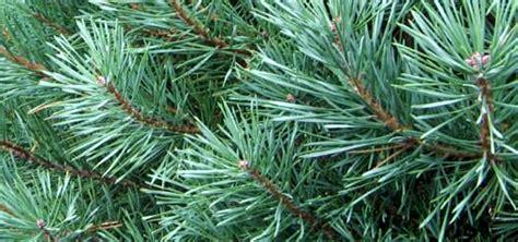 christmas tree needle retention tree s mi chips groundcover