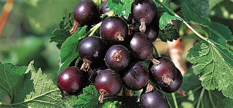 j fruit ornam plant res growing new fruit in your garden loganberries and