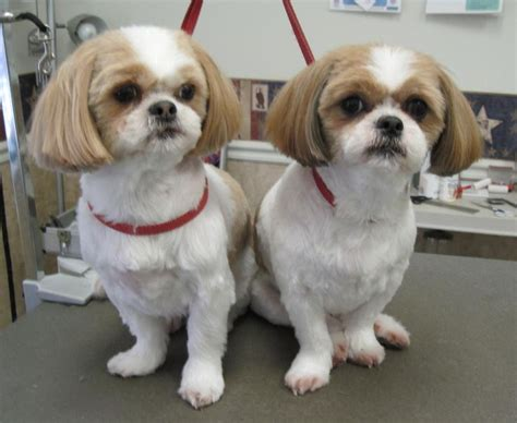human hair dog cut pics 16 best shih tzu hair cuts images on pinterest shih tzus