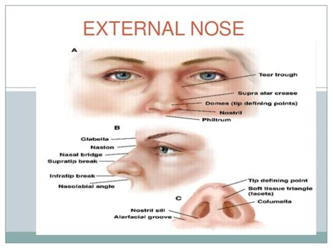 parts of a nose diagram 28 images nose anatomy the
