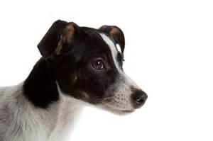 draw rat terriers
