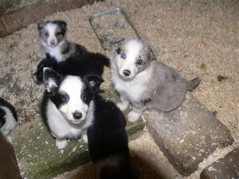 border collie puppies virginia blue merle border collies picture