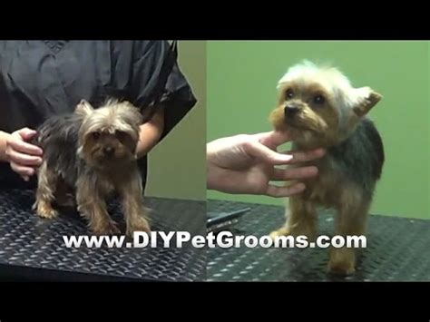how to bathe yorkie puppy bathing a yorkie including glands and ear trim funnycat tv