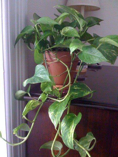 pothos plant tips  easy pothos care