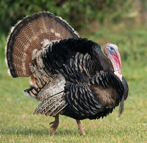 our blog raising a thanksgiving turkey part one