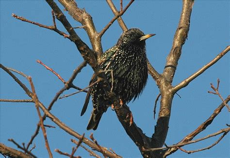 european starling sturnus vulgaris photo charlie lentz