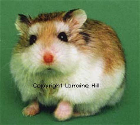 Hamster Roborovski Normal su 231 uarana ra 231 as de hamsters