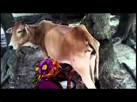 how to get milk out of couch how to get milk of cow naturally youtube