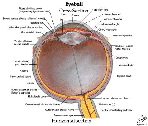 eyeball diagram phy 3400 image gallery vision and the eye