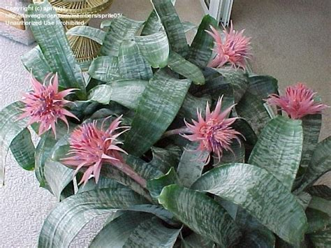 Bromeliad Silver Vase by Plantfiles Pictures Aechmea Bromeliad Urn Plant Silver