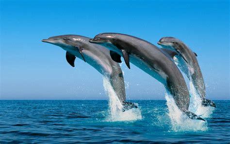 imagenes para fondo de pantalla delfines delfines para fondo de pantalla imagui