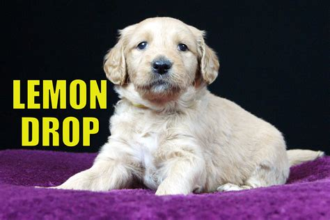 goldendoodle puppy for sale in nc goldendoodle puppies for sale in carolina