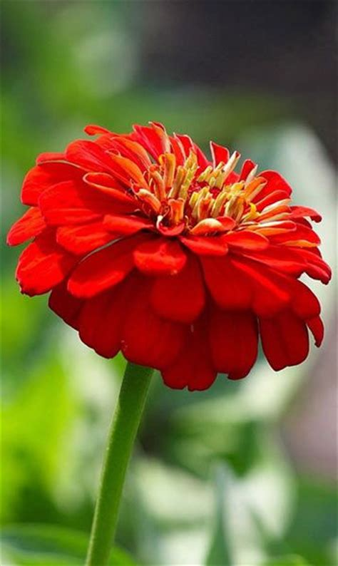 Hd Flower Images beautiful red flower beautiful flowers wallpapers