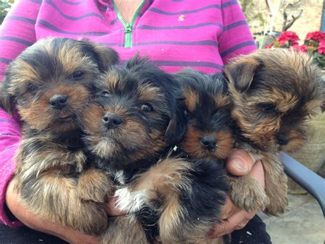 teacup yorkie and shih tzu mix yorkie shih tzu mix puppies breeds picture