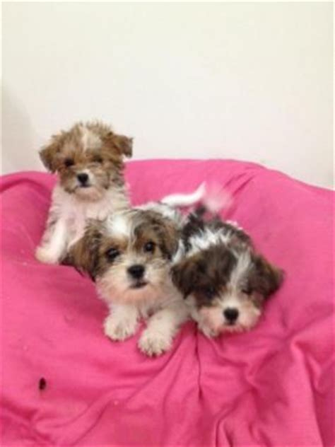yorkie vs shih tzu 1000 images about shorkies on pets puppys and yorkie shih tzu mix