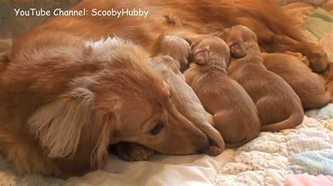 nursing puppies puppies nursing one week
