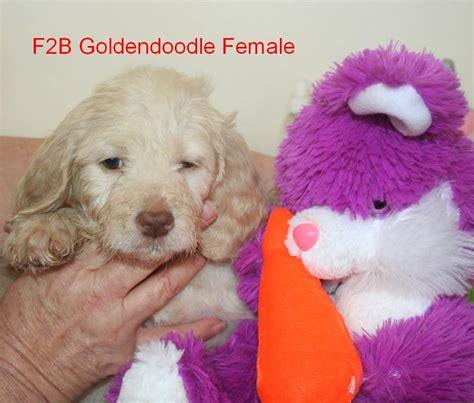 precious puppies hutton s precious puppies available goldendoodle puppies