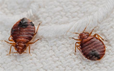 how to get rid of bed bugs hosbeg