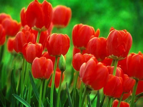 coltivare tulipani in vaso coltivazione tulipani bulbi come coltivare i tulipani