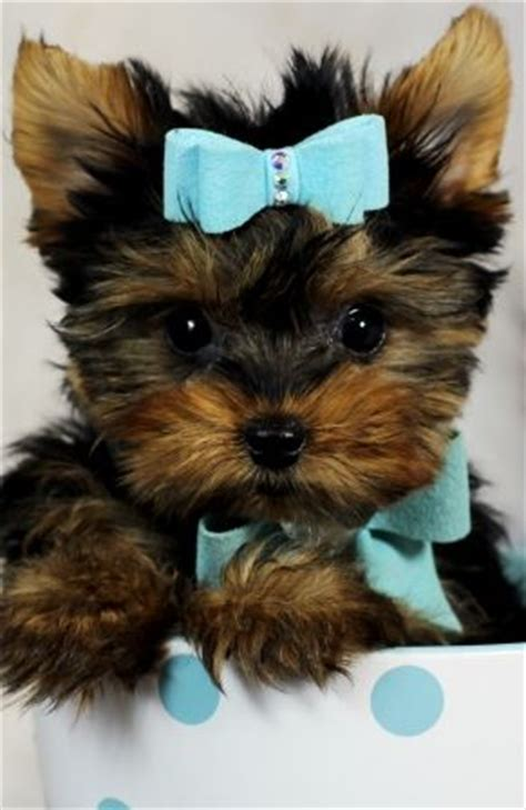 yorkie miami baby yorkies for sale 100