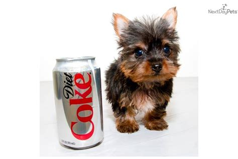 what age is a yorkie puppy grown terrier yorkie puppy for sale near columbus ohio 1f850a7a af91