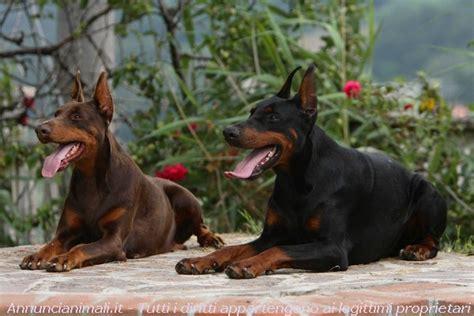 negozi animali pavia dobermann cuccioli vendita cucciolo di dobermann a pavia