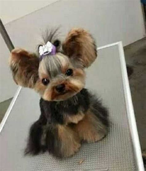 how to cut a yorkie s hair at home cute yorkie haircuts