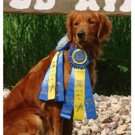 golden cocker retriever mn muddy golden retriever breeder in kimball minnesota
