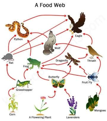 easy food web to draw what is the difference between food chain and food web