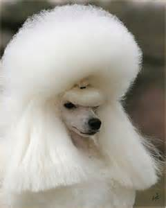 haircutsfordogs poodlemix pictures of haircuts of poodle mix dogs dog breeds picture