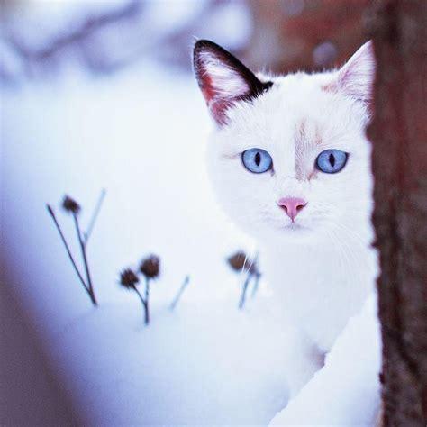 imágenes raras pero bonitas white cats with blue eyes in snow www pixshark com
