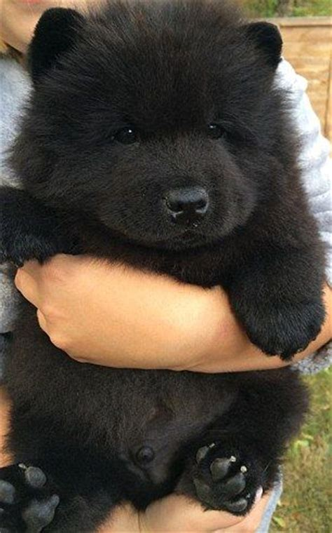 mini chow chow puppies 17 best ideas about chow chow on chow chow puppies fluffy puppies and