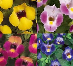 torenia wishbone flower rosehill gardens