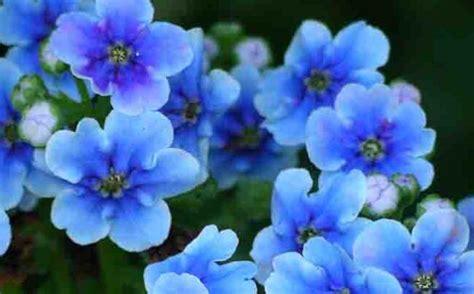 non ti scordar di me fiori significato non ti scordar di me nel linguaggio dei fiori