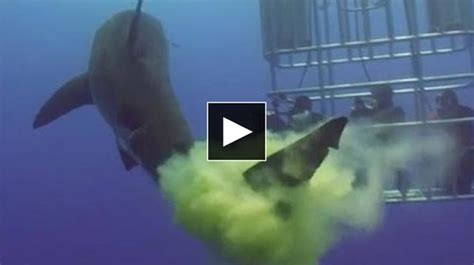 great white attacks fishing boat great white shark attacks inflatable boat fishing video