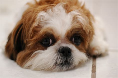 shih tzu how do they live shih tzu the cutest puppy for your house