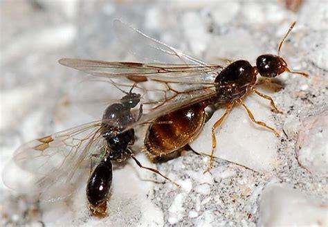 formiche volanti copula formiche alate probabile solenopsis sp forum