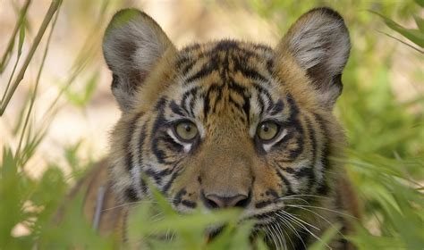 animal pictures category tiger on animal picture society