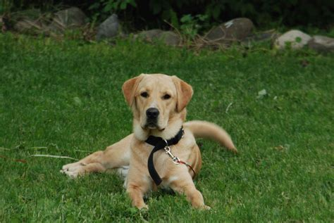 yellow lab and golden retriever yellow lab vs golden retriever puppies