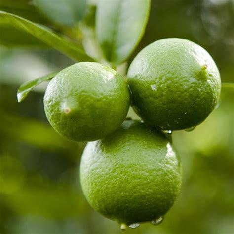 Citrus Tree Nursery by Key Mexican Lime Dwarf Brite Leaf Citrus Nursery