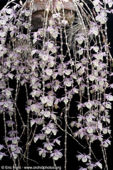 garden orchids and roses auf pinterest orchideen dfte 20221 besten orchids bilder auf pinterest sch 246 ne blumen