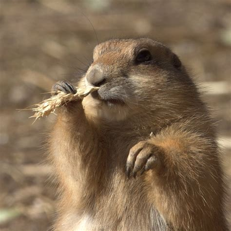 6 dogs flossing 17 best images about prairie dogs on photo broadway shows and
