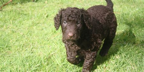 Curly Coated Retriever Training Videos Information And ...