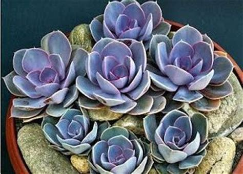 echeveria pearl of nuremberg mixed containers pinterest