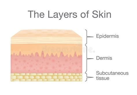 stock images similar to id 65616337 human skin macro texture components of human skin layer in vector style stock vector illustration of clip cell 93693950