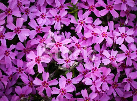 fiori viola immagini sfondo fiori viola fotografie stock freeimages