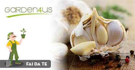 coltivare aglio in vaso come coltivare l aglio in vaso o nell orto garden4us
