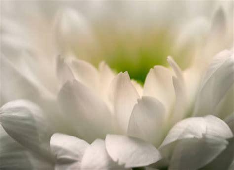 druppel chloor bij bloemen chrysanthemum snijchrysant lang houdbare snijbloem in vazen