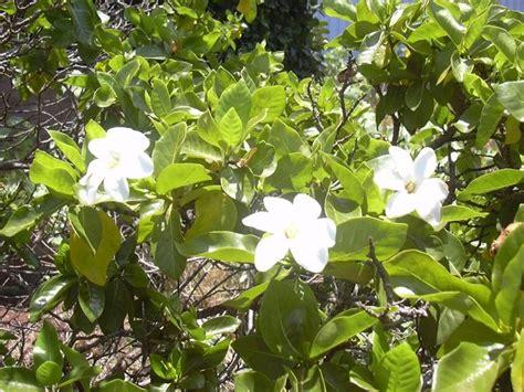 malattie piante appartamento gardenia giardinaggio piante appartamento come