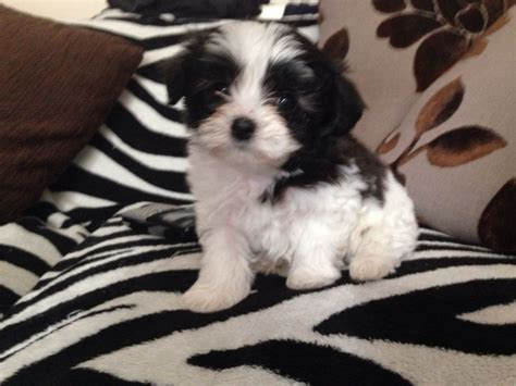 bichon puppies poodle havanese mix breeds picture